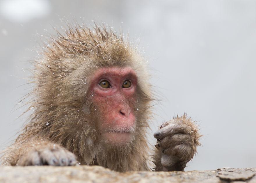 Expresiile impresionante ale maimutelor de zapada - Poza 1