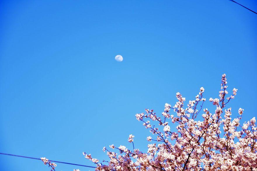 Splendoarea ciresilor infloriti, in poze superbe - Poza 9