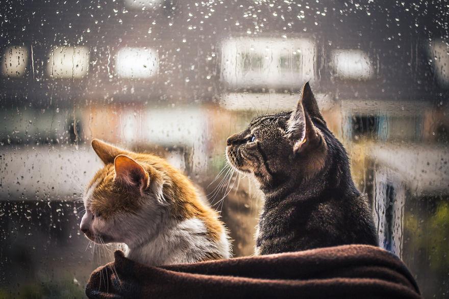 Pisicile care adora ploaia - Poza 1