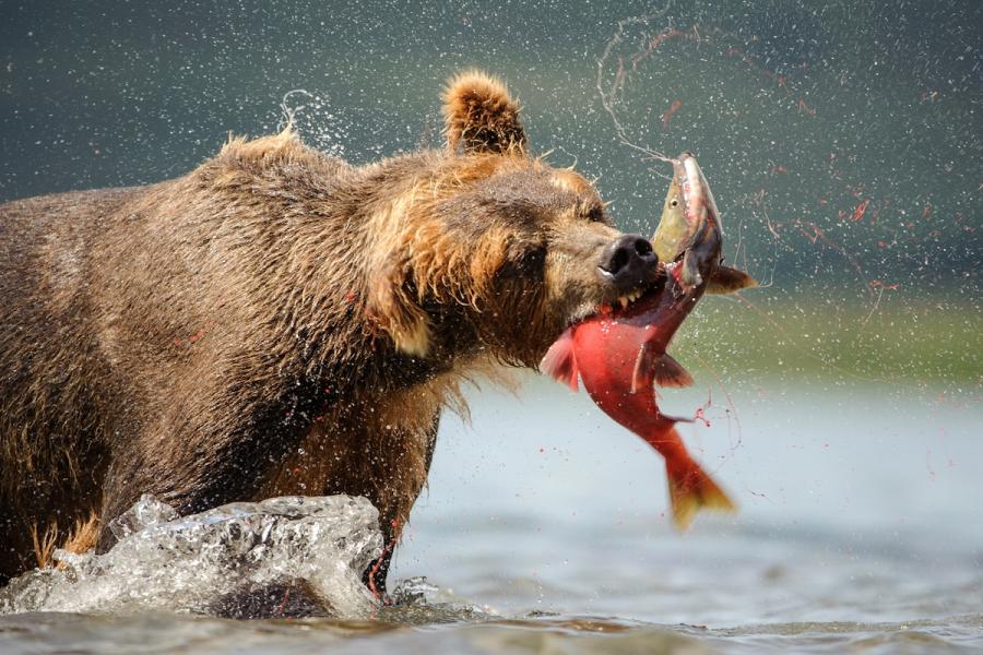 Ursul brun din Kamchatka, intr-un pictorial de exceptie - Poza 13