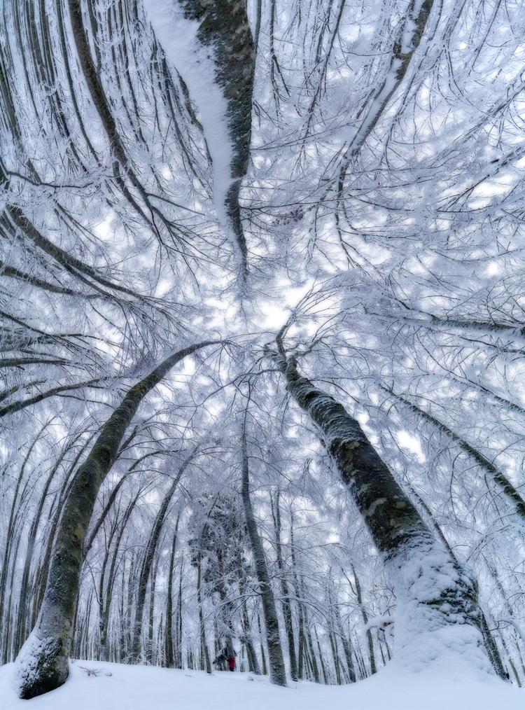 Splendoarea arborilor centenari, in urcusul lor spre cer - Poza 5