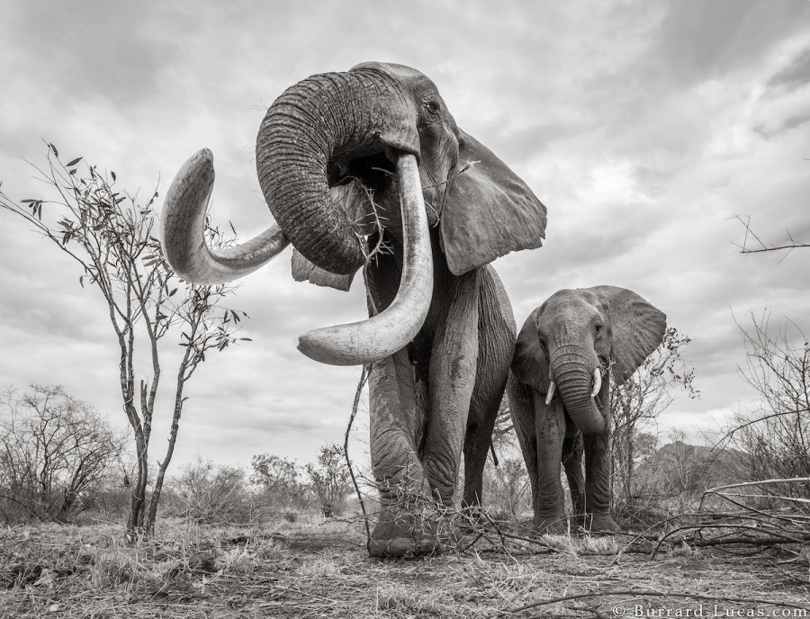 """Povestea ultimelor fotografii cu """"Regina elefantilor"""" - Poza 6"""