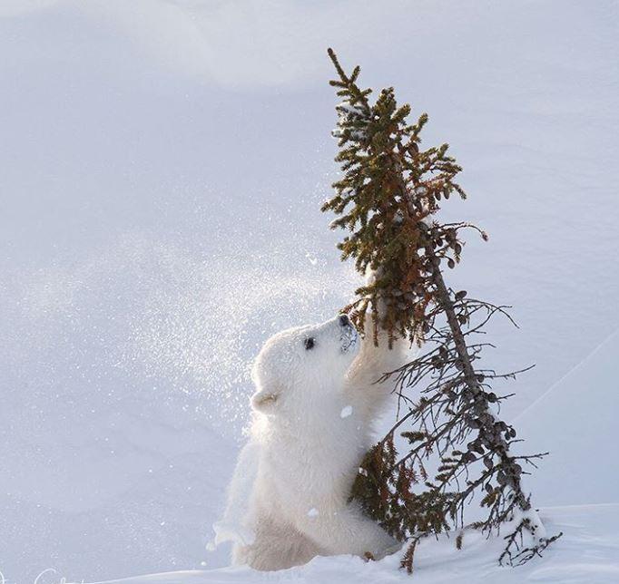 Cele mai simpatice animalute de la Polul Nord, in poze adorabile - Poza 7