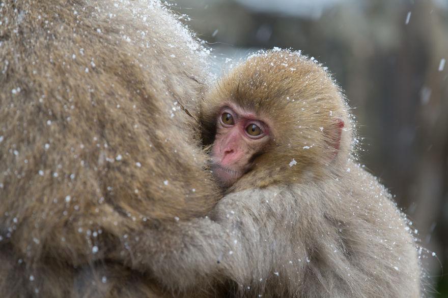 Expresiile impresionante ale maimutelor de zapada - Poza 7