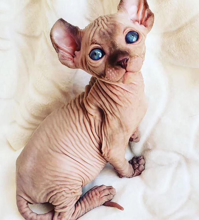 Frumusetea bizara a pisicutelor Sphynx, in poze de exceptie - Poza 7