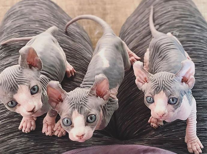 Frumusetea bizara a pisicutelor Sphynx, in poze de exceptie - Poza 25