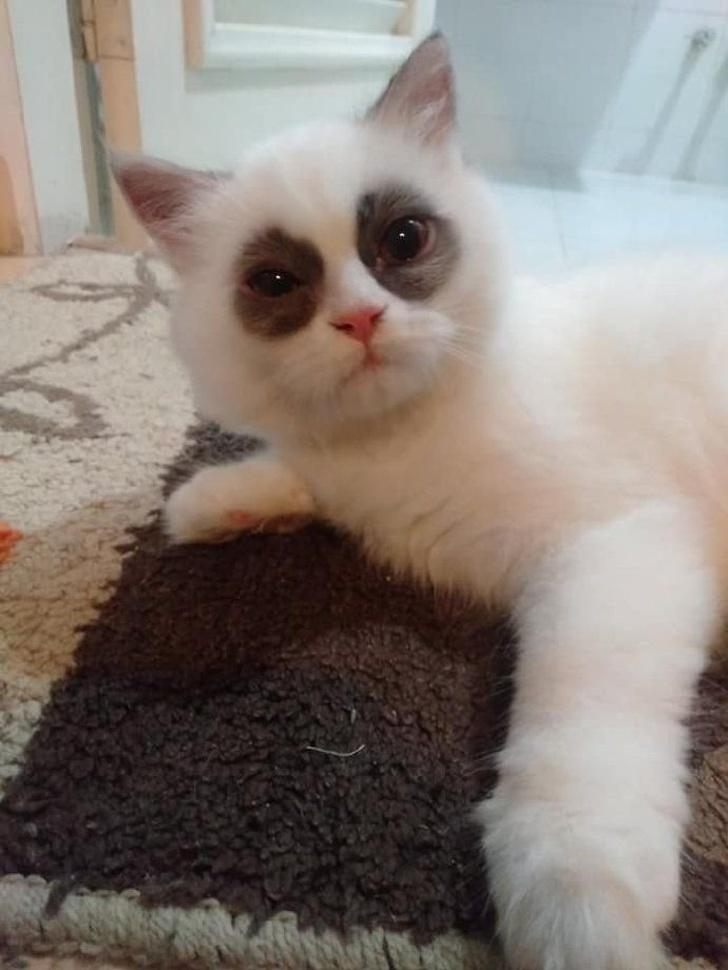 13 exemple de pisici cu infatisare atipica - Poza 2