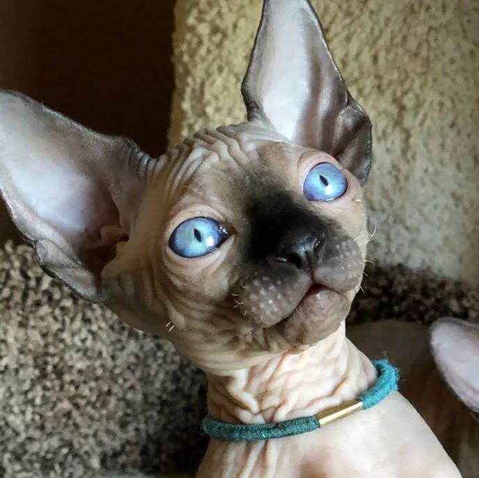 Frumusetea bizara a pisicutelor Sphynx, in poze de exceptie - Poza 26