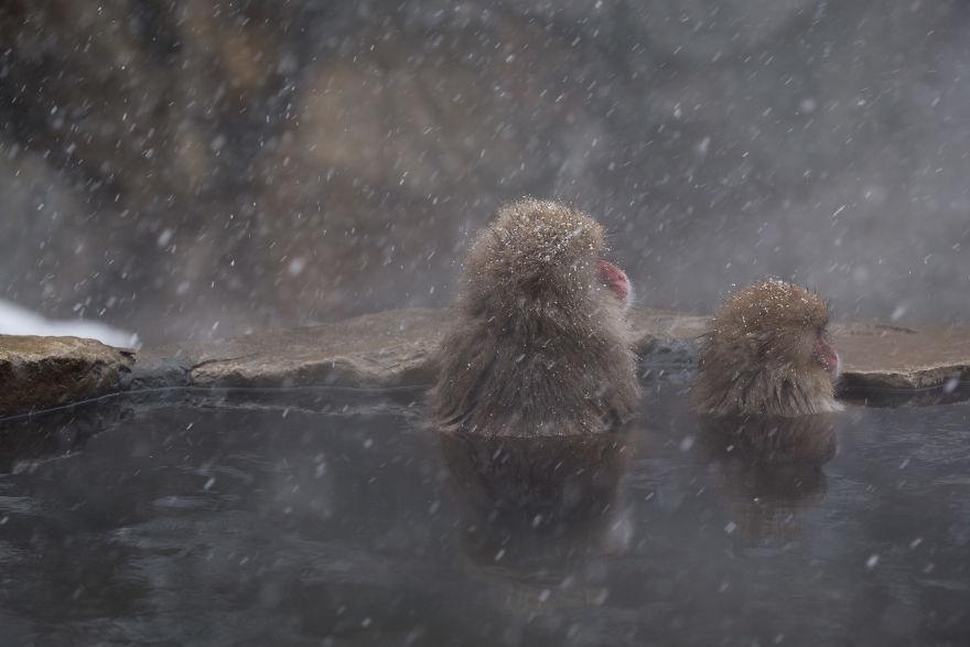 Expresiile impresionante ale maimutelor de zapada - Poza 6