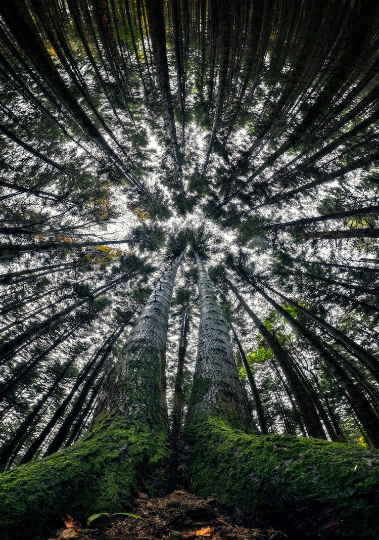 Splendoarea arborilor centenari, in urcusul lor spre cer - Poza 9