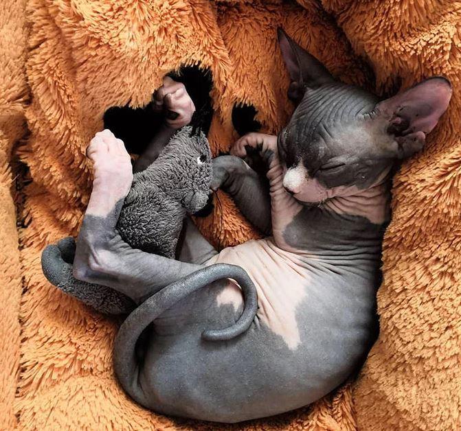 Frumusetea bizara a pisicutelor Sphynx, in poze de exceptie - Poza 18