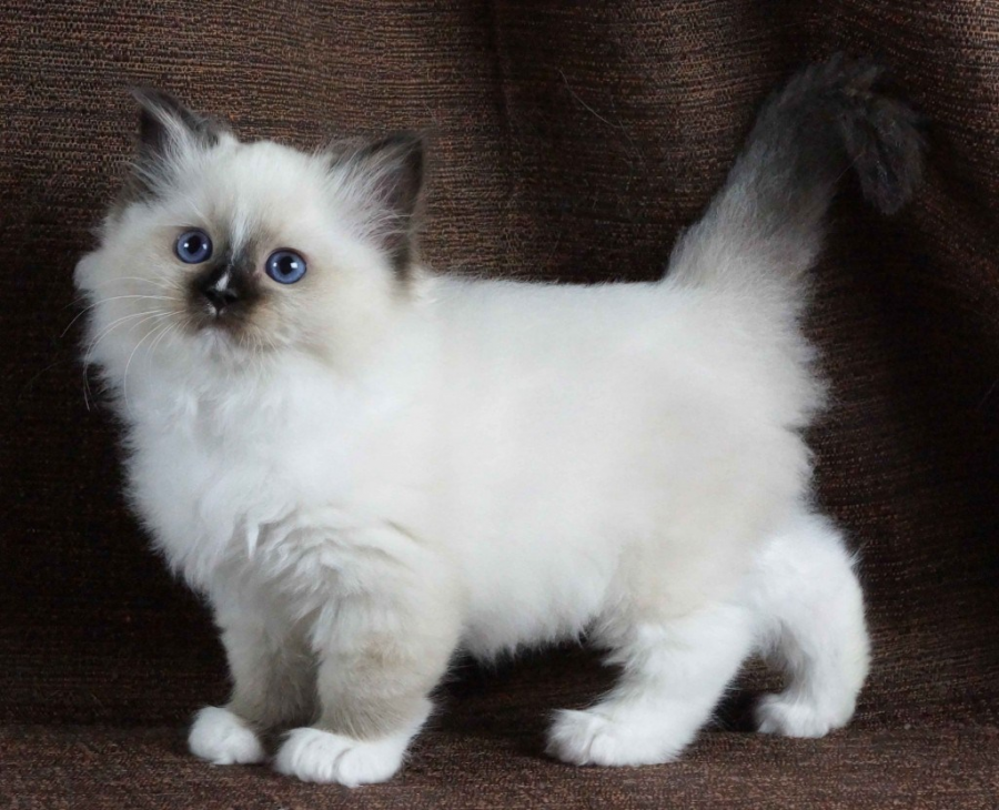 Cele mai frumoase rase de pisici din lume - Poza 5