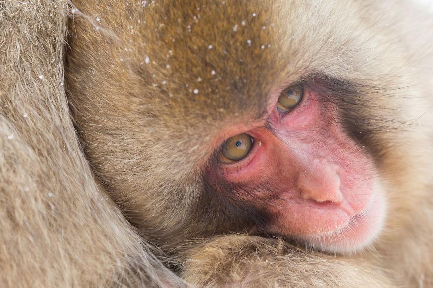 Expresiile impresionante ale maimutelor de zapada - Poza 10