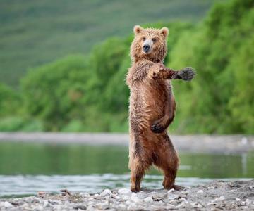 Ursii rusului Nikolai Zinoviev stiu sa danseze