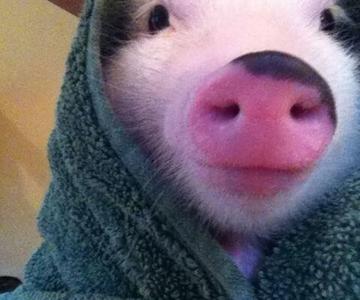 10 porci simpatici