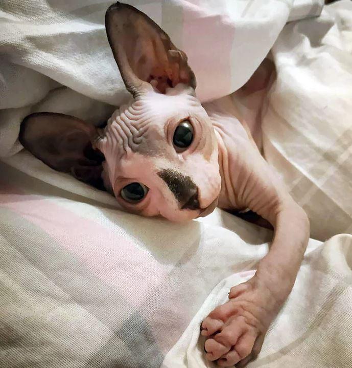 Frumusetea bizara a pisicutelor Sphynx, in poze de exceptie - Poza 24