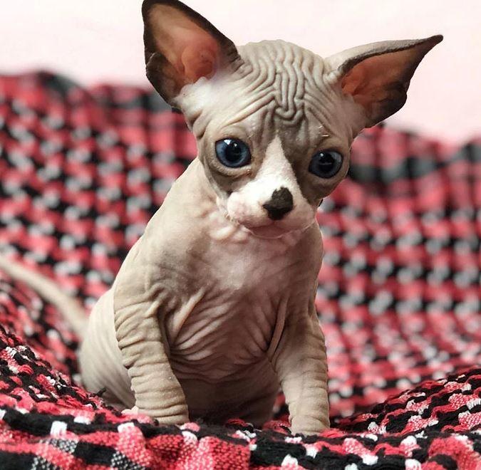 Frumusetea bizara a pisicutelor Sphynx, in poze de exceptie - Poza 22