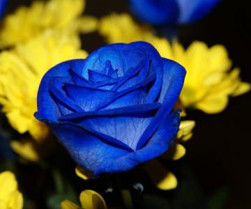 Trandafiri albastri