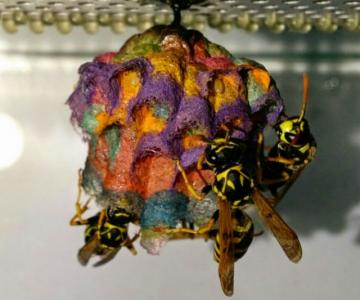 Arhitectii naturii: Cuiburi multicolore de viespi