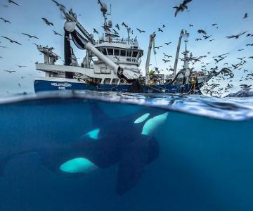 Balenele din Oceanul Inghetat, in poze superbe