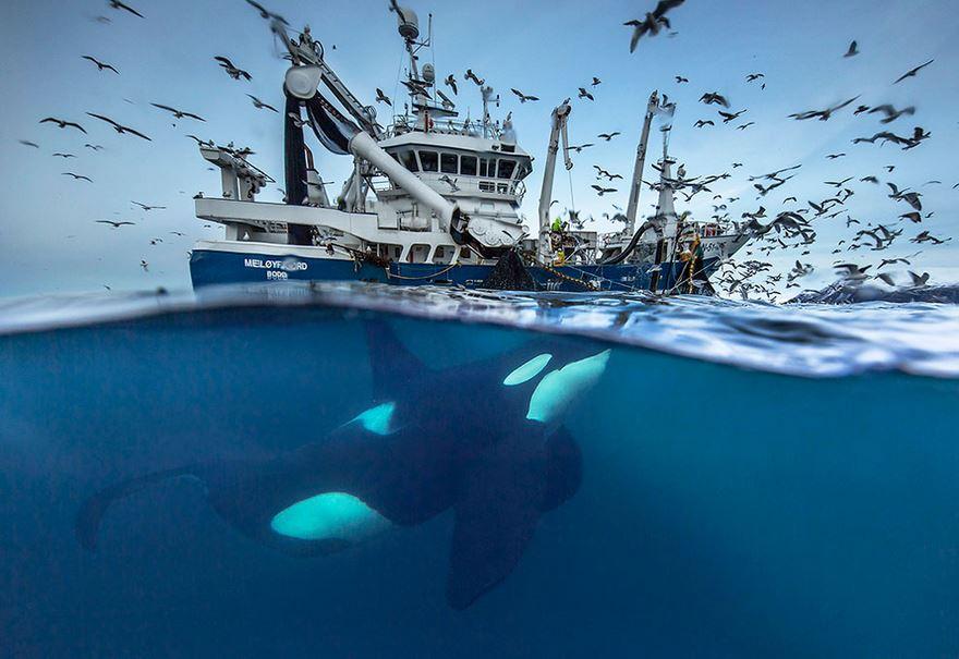 Balenele din Oceanul Inghetat, in poze superbe - Poza 1