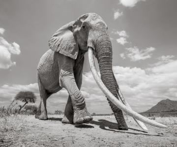 """Povestea ultimelor fotografii cu """"Regina elefantilor"""""""