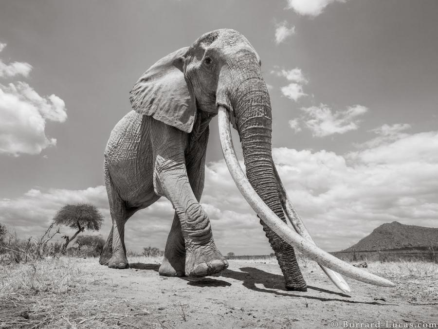"""Povestea ultimelor fotografii cu """"Regina elefantilor"""" - Poza 1"""