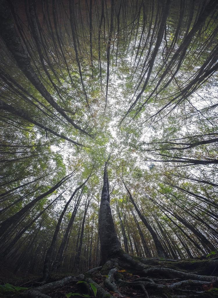Splendoarea arborilor centenari, in urcusul lor spre cer - Poza 11