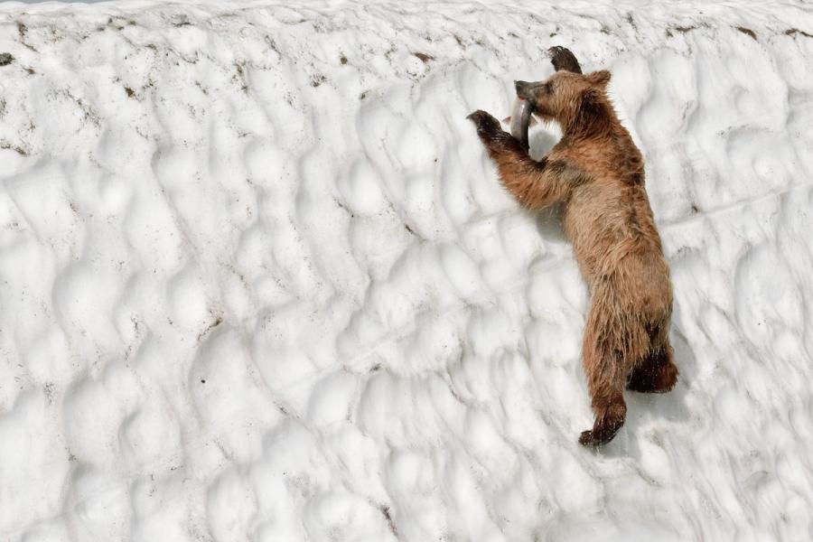 Ursul brun din Kamchatka, intr-un pictorial de exceptie - Poza 19