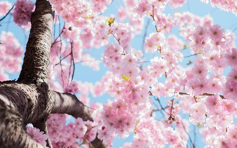 Splendoarea copacilor infloriti in poze superbe - Poza 13