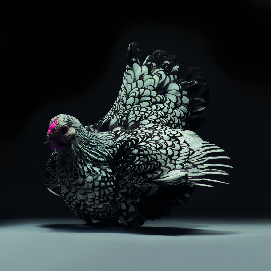 Cele mai rare si mai frumoase rase de gaini din lume - Poza 7