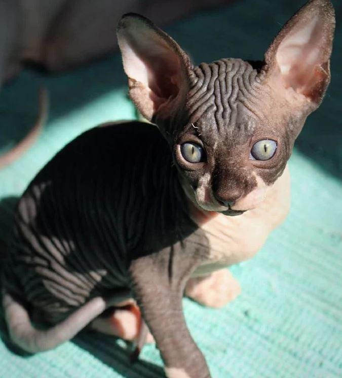 Frumusetea bizara a pisicutelor Sphynx, in poze de exceptie - Poza 19