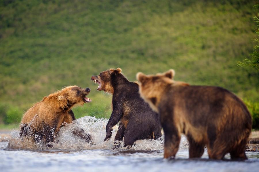 Ursul brun din Kamchatka, intr-un pictorial de exceptie - Poza 6