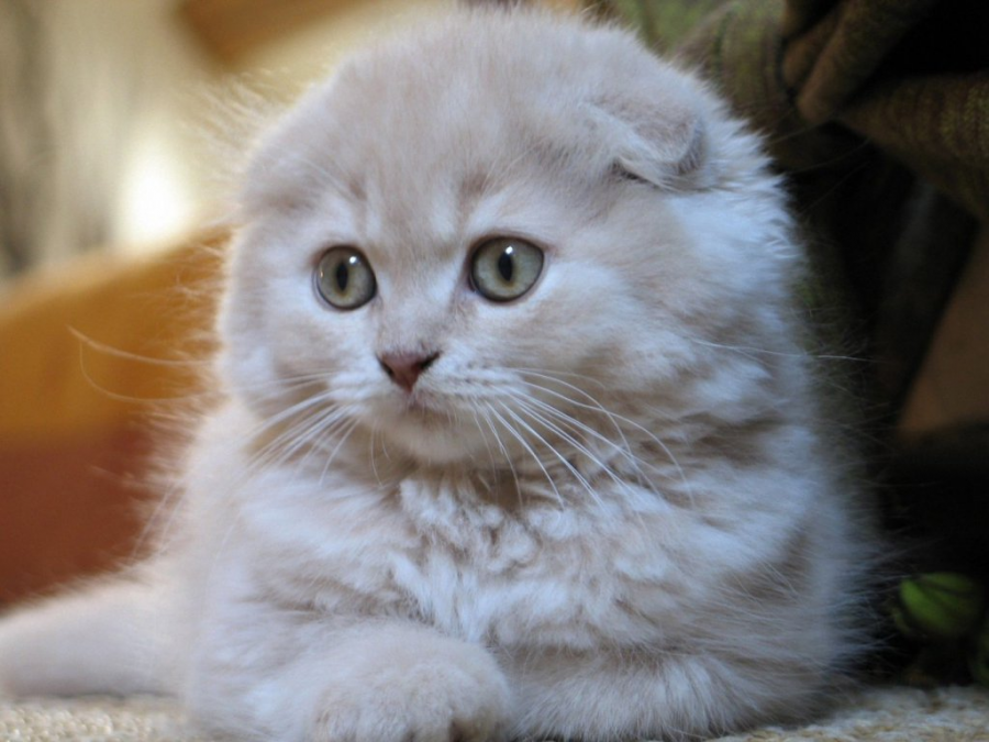 Cele mai frumoase rase de pisici din lume - Poza 6