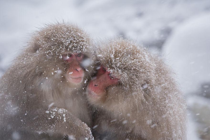 Expresiile impresionante ale maimutelor de zapada - Poza 3
