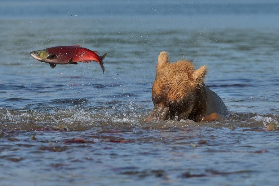Ursul brun din Kamchatka, intr-un pictorial de exceptie - Poza 12
