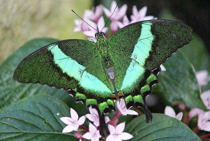 Cei mai frumosi fluturi din lume, in poze spectaculoase - Poza 1