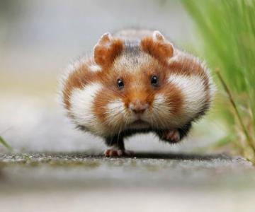 Zece hamsteri adorabili in cele mai haioase ipostaze