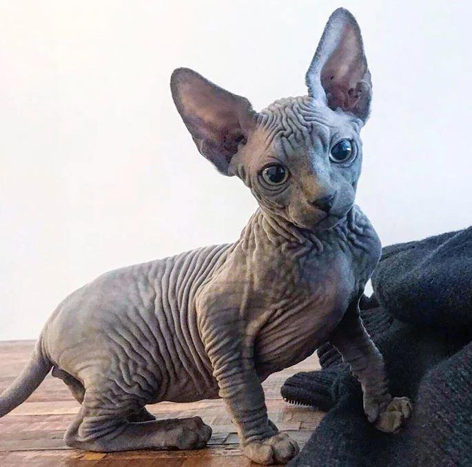 Frumusetea bizara a pisicutelor Sphynx, in poze de exceptie - Poza 21