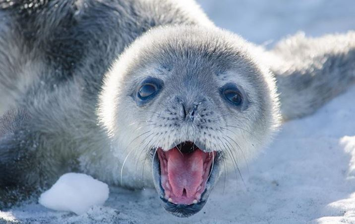 Cele mai simpatice animalute de la Polul Nord, in poze adorabile - Poza 16