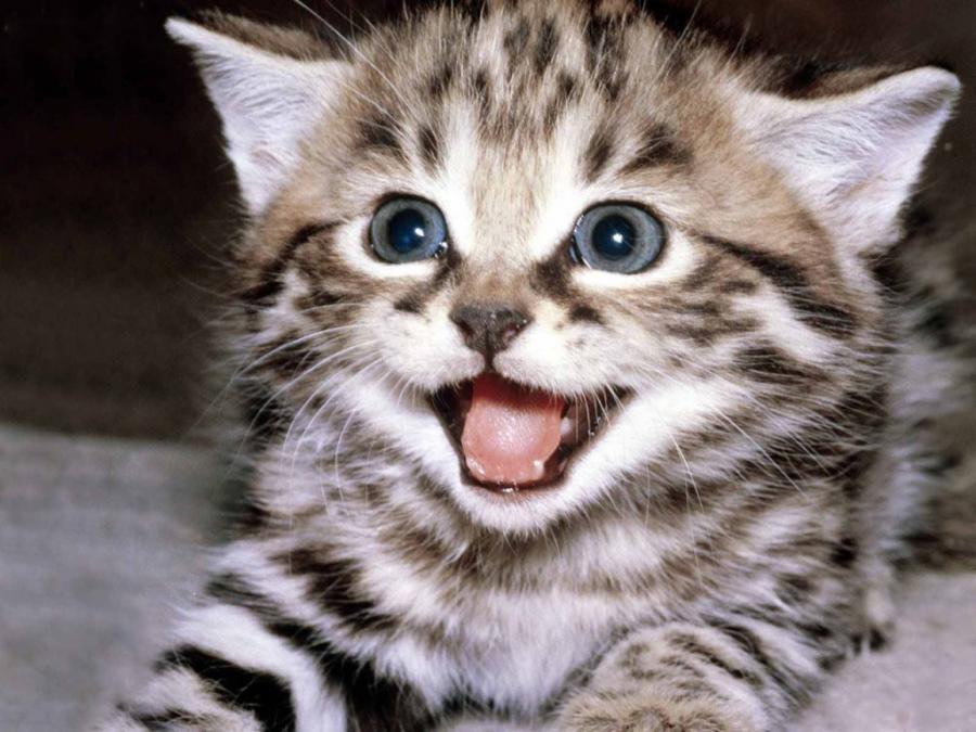 Cele mai frumoase rase de pisici din lume - Poza 8