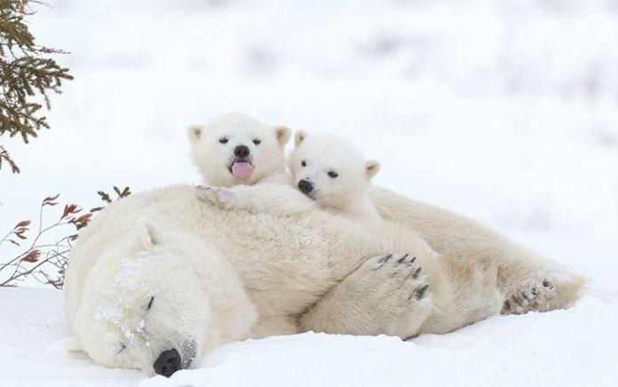 Cele mai simpatice animalute de la Polul Nord, in poze adorabile - Poza 6
