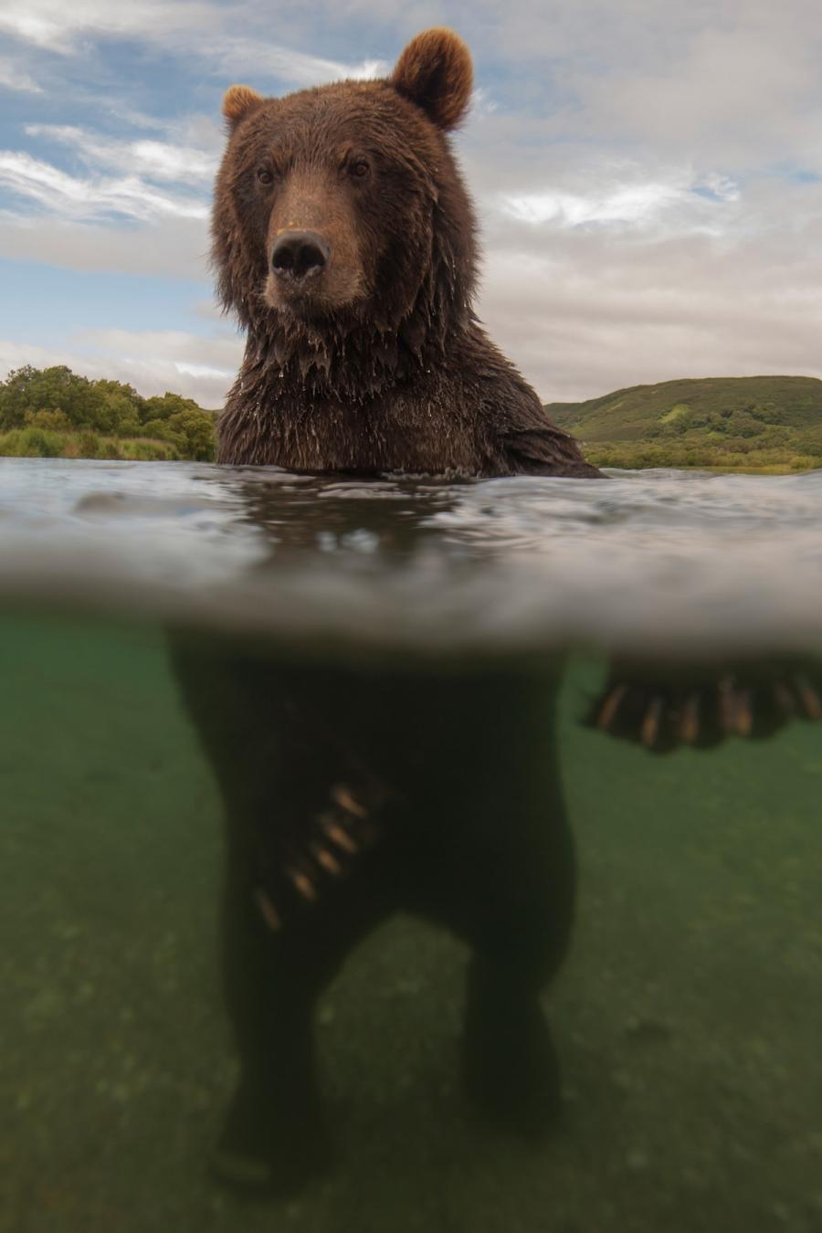 Ursul brun din Kamchatka, intr-un pictorial de exceptie - Poza 9