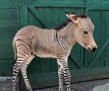 Ippo, magarusul-zebra din Italia