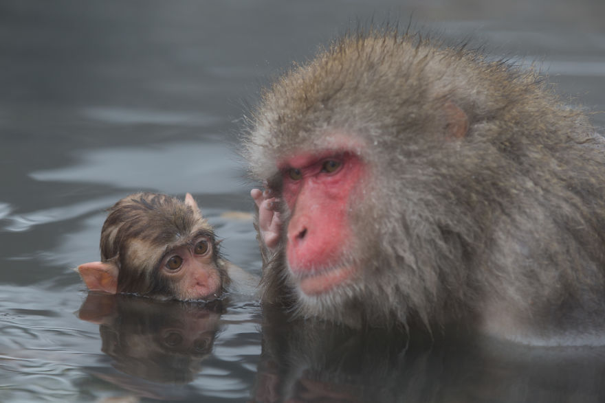 Expresiile impresionante ale maimutelor de zapada - Poza 4