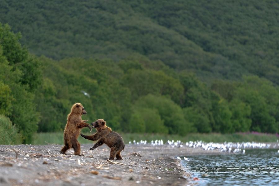 Ursul brun din Kamchatka, intr-un pictorial de exceptie - Poza 5