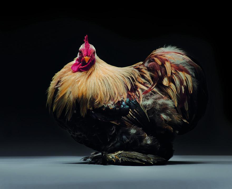 Cele mai rare si mai frumoase rase de gaini din lume - Poza 18