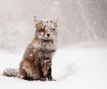 13 fotografii cu vulpite absolut adorabile