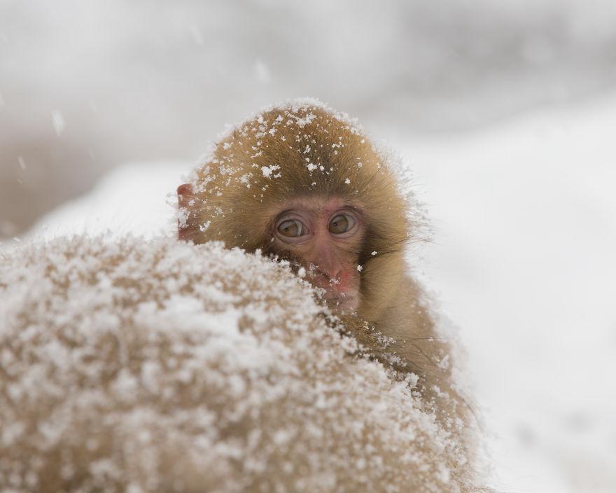 Expresiile impresionante ale maimutelor de zapada - Poza 5