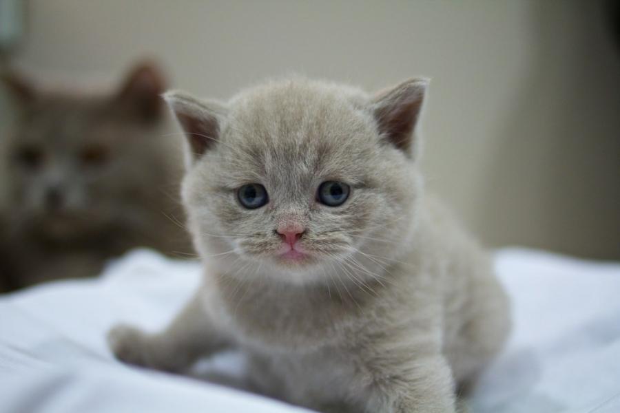Cele mai frumoase rase de pisici din lume - Poza 11
